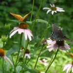 Butterflies grazing on natural, no spray gardens