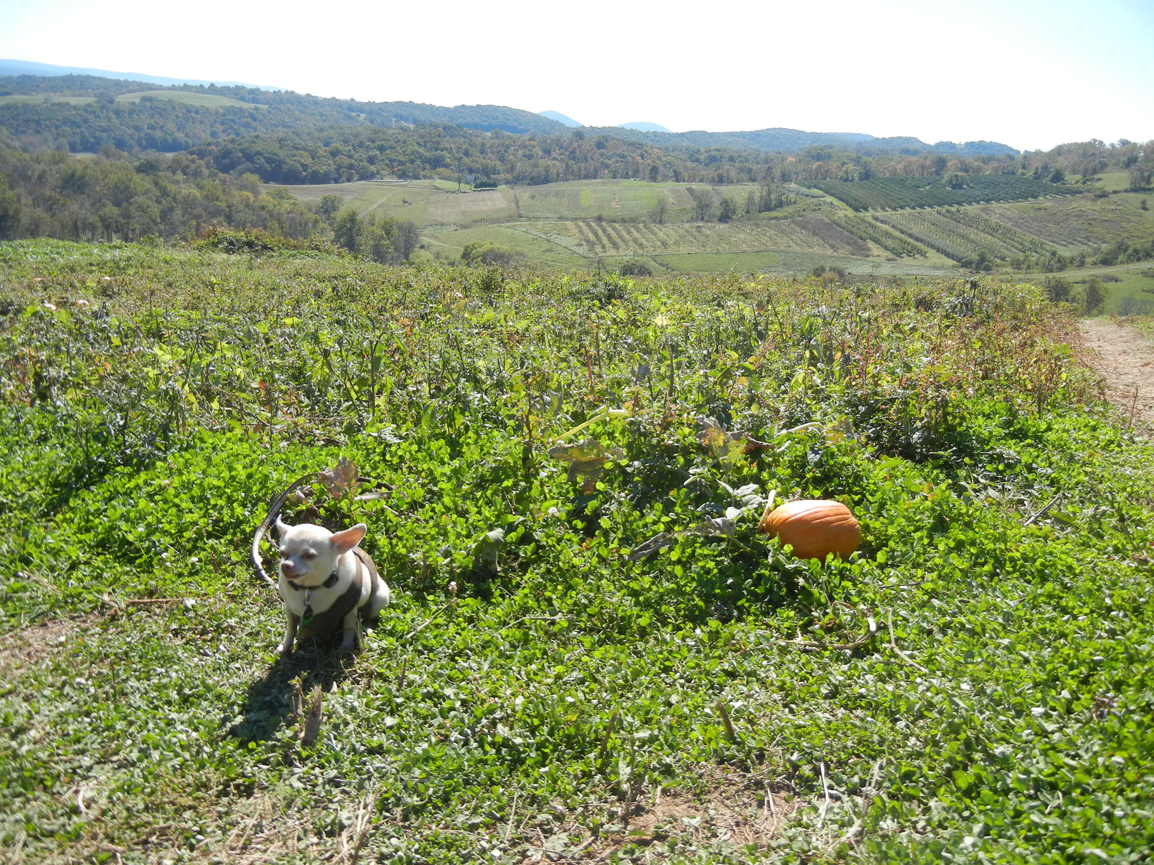 Junior's pumpkin